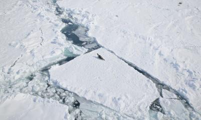 Harp seal (Phoca groenlandica) on fractured ice blocks