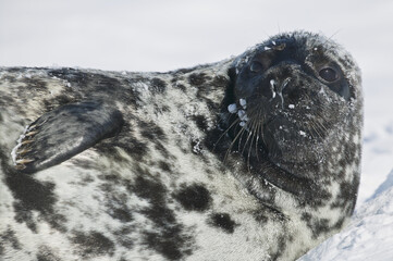 Hooded seal (Cystophora cristata)