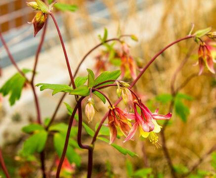 Eastern Columbine Flower