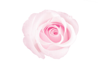 close up of rose flower isolated on white background with clipping path