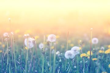 Beautiful retro photo dandelions