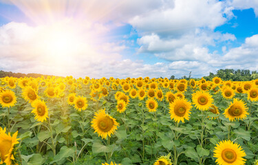 sunflowers in a field against blue sky and clouds