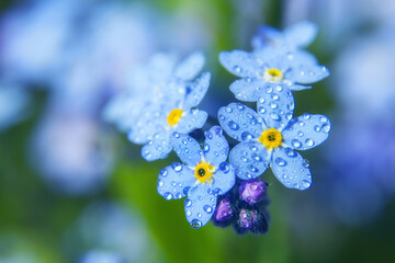 Forget me not flower petals close up with droplets of water. Macro shot
