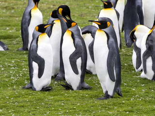 king penguin, Aptenodytes patagonicus, Volunteer point, Falkland Islands - Malvinas
