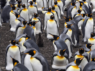 King Penguin, Aptenodytes patagonicus, born baby in the nest of the nesting colonies, Volunteer Point, Falklands / Malvinas