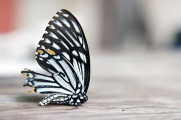 Close up of Butterflies do die