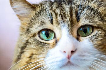 Close up portrait of domestic cat