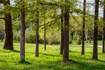 Landscape of pine in summer forest. Idyllic views of the Park from the tree trunks. Nature is peaceful.