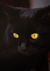 Black cat with the yellow eyes, close-up portrait