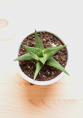 Cactus desde arriba con fondo madera.