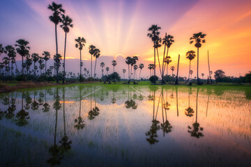 Sugar palm tree at sunset in Thailand