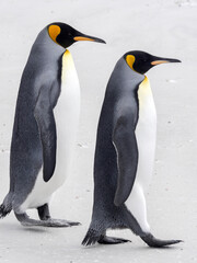 King penguin, Aptenodytes patagonica, Volunteer Point, Falklands / Malvinas
