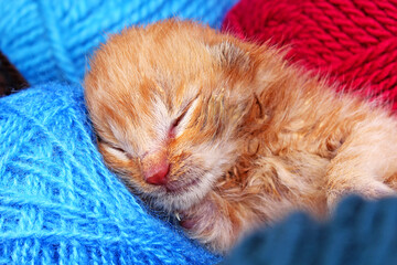 New born baby cat sleeping. Cute beautiful little few days old orange cream color kitten.
