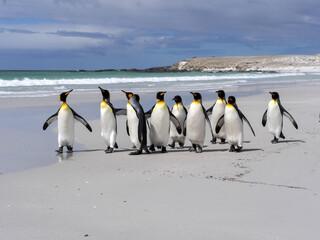 King Penguin Group, Aptenodytes patagonica, on the white sandy beach of Volunteer Point, Falklands / Malvinas