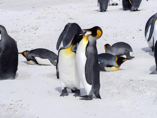 King Penguin , Aptenodytes patagonica, on the white sandy beach of Volunteer Point, Falklands / Malvinas