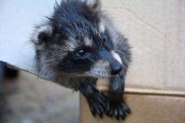 Ein kleines Waschbär  -  Baby  schaut aus einem Karton