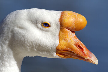 Domestic swan goose portrait