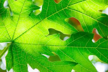 Leaf natural and light background.