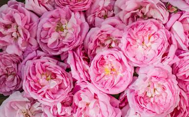 pink rose spring background.