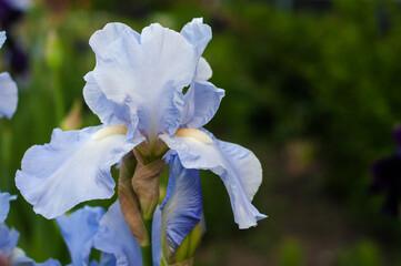 Deurstickers Iris Beautiful blue iris flower on background blur.