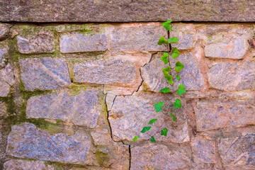 The stone wall and stem of ivy sprouted from its crack.