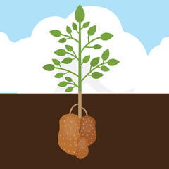 Potatoes plant under the ground illustration