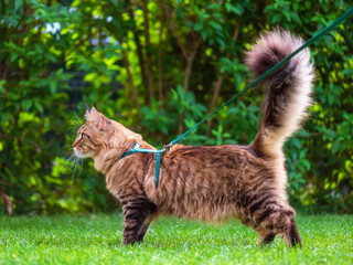 Black tabby Maine Coon cat with leash wandering in backyard. Young cute male cat wearing a harness go on lawn having lifted tail. Pets walking outdoor adventure on green grass in park.