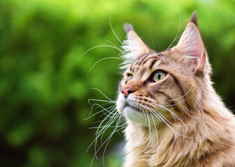 Close up portrait of black tabby Maine Coon cat on green background with copy-space and sunlight. Adorable young cute male cat looking away. Pets walking outdoor adventure.
