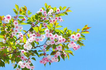 Branch of a blossoming pink Sakura on blue sky background