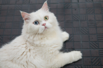 White cat with two colored eyes laying on the floor looking and scared at something