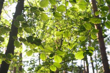 spring hazel tree leaves