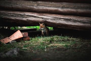 Fox cub hiding under a wooden barn