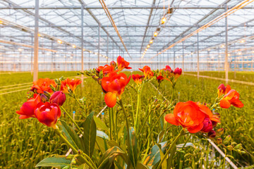 Blooming red freesia plants in a dutch greenhouse