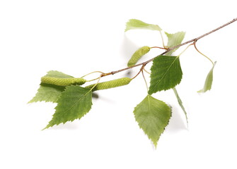 Birch tree catkin twig, betula pendula ament stem, young spring  leaves, isolated on white