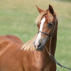 Beautiful welsh pony on pasturage