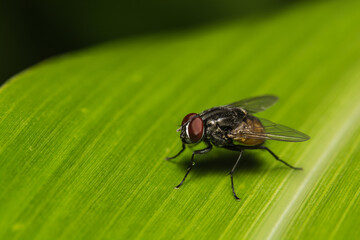 Fly on banana leaf