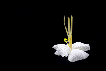 Kind of wood flower on black background with copy space; to be placed on the site of cremation in Thailand  (Dok Mai Jan)