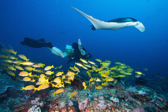 Diver swims with manta ray