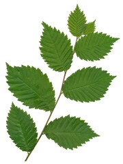 green leaves of elm tree close up
