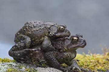 Two frogs mating, sitting on a boulder.