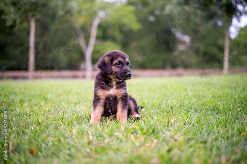 German Shepherd Hound Dog Mix Stock Photo And Royalty Free Images