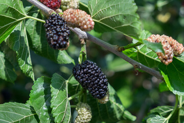 New mulberry, black and red mulberries on a branch