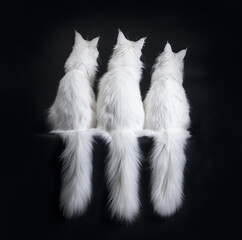 Row of three white Maine Coons from the back with hanging tails isolated on black background