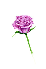 Vector Watercolor pink rose on white background,