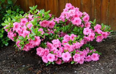 Azalea, flowering shrubs member of the genus Rhododendron