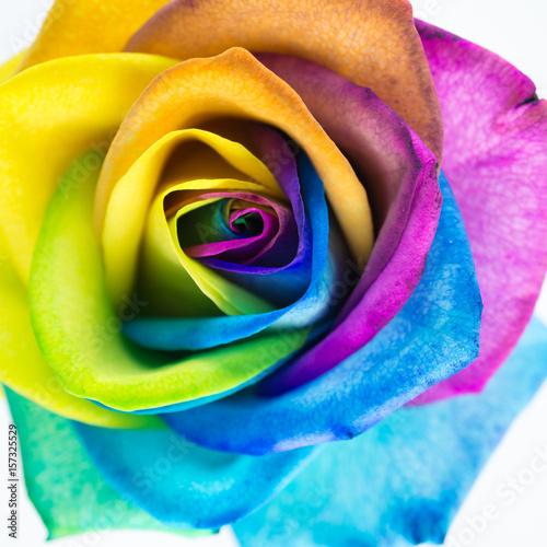 bunte rose in regenbogenfarben quadratisch stock photo and royalty free images on. Black Bedroom Furniture Sets. Home Design Ideas