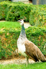 Female peacock - a royal bird with a proud posture.