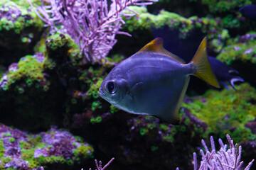 Silver moonfish close up