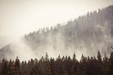 Foto op Canvas Ochtendstond met mist Fog in the fir forest in autumn or spring time
