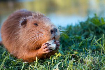 Portrait of a charming sniffing nutria, sitting in the grass